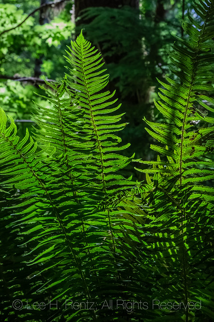 Sword Fern in Gifford Pinchot National Forest