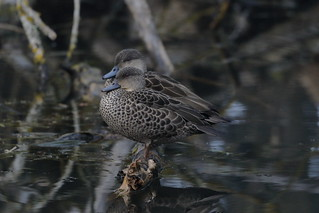 Grey Teal | by blachswan