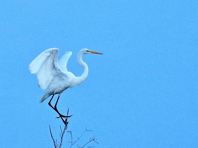 Great Egret 02-20200729