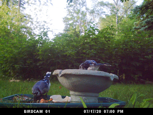 Blue Jays at my birdbath
