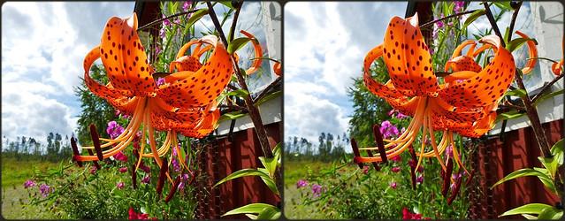 ... Tiger-Lilie (Lilium lancifolium) ...