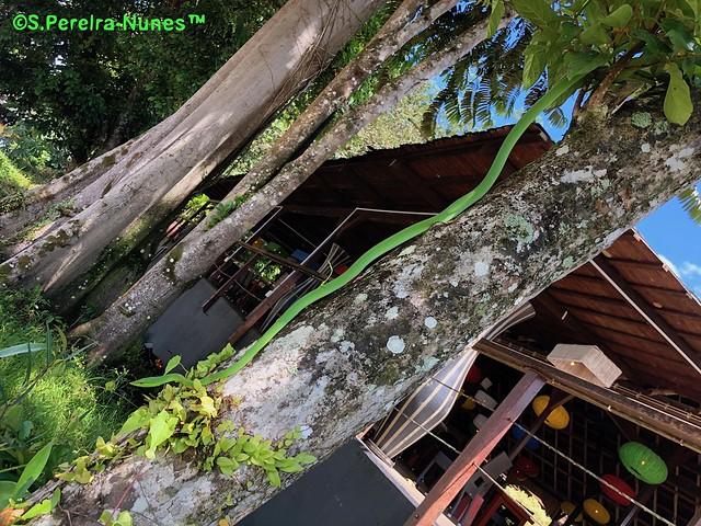 Green Vine Snake, Bergendal Resort, Suriname
