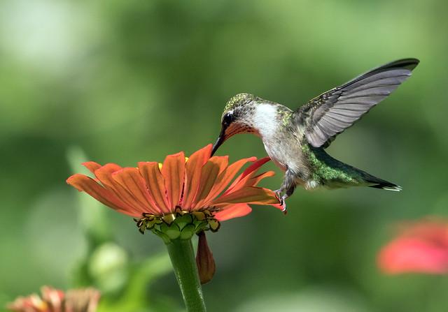015A1745 Ruby-throated Hummingbird