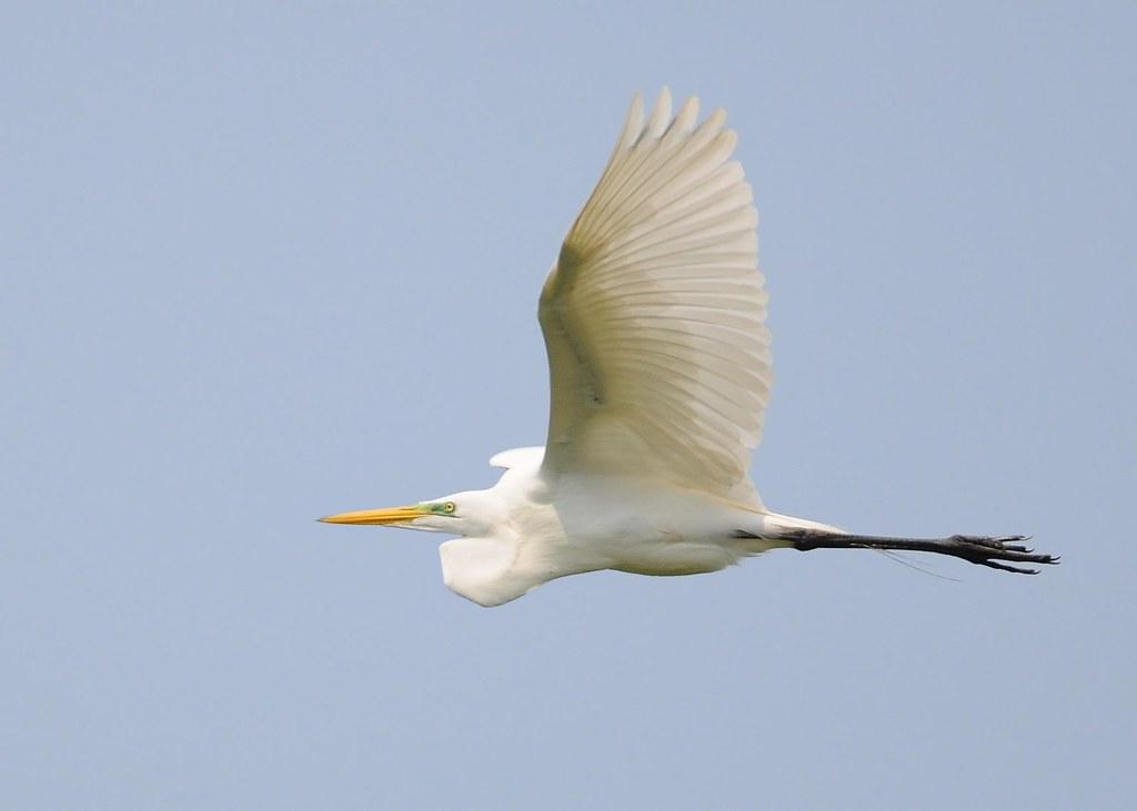 Garça-branca-grande / Great Egret