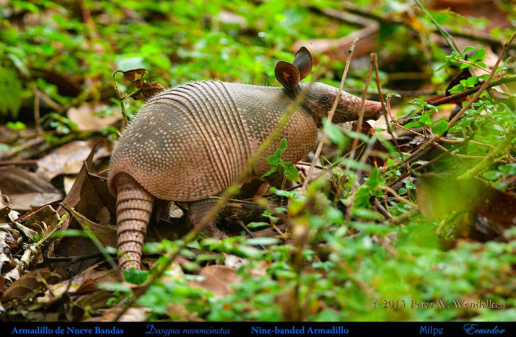 NINE-BANDED ARMADILLO Dasypus novemcinctus at the Milpe Bird Sanctuary in Northwestern ECUADOR. Photo by Peter Wendelken.