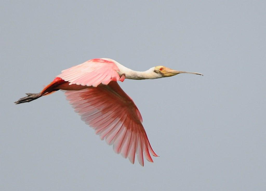 Colhereiro rosa / Roseate Spoonbill