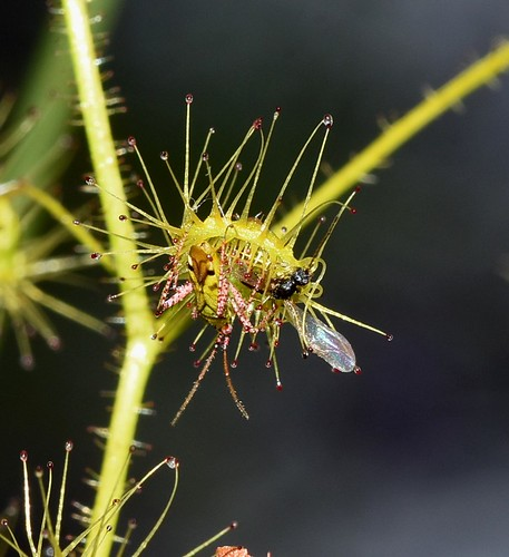 Setocoris Drosera bug stealing captured food from a sundew leaf