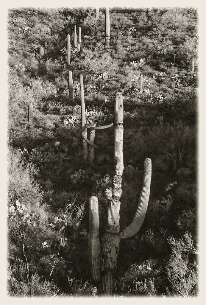Gates Pass IR #26 2020; Saguaro Forest