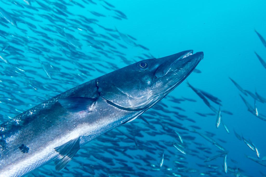 Barracuda (1)
