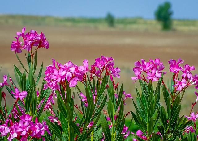 - Flower Fields -
