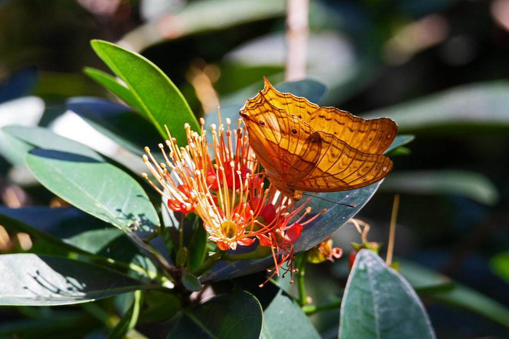 common cruiser (Vindula erota) - Entopia Butterfly Farm - Teluk Bahang, Penang Island, Malaysia - Feb 2020 explored