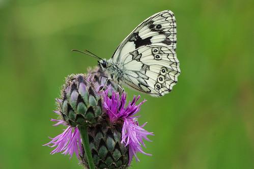 devilsdyke cambridgeshire insect butterfly wild wildlife nature marbledwhite melanargiagalathea nectaring knapweed