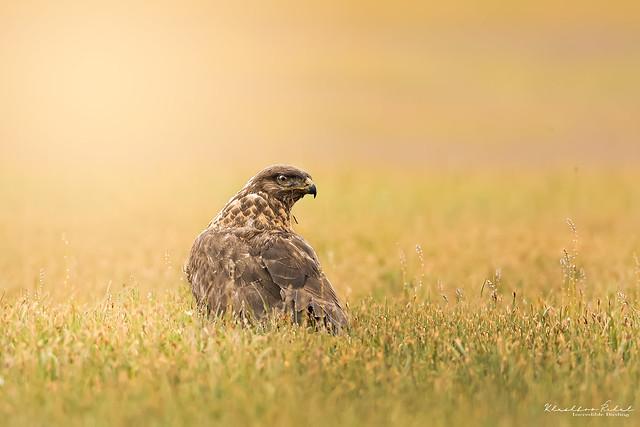 The upland buzzard (Buteo hemilasius) Visit https://www.instagram.com/incrediblebirding/ for more images