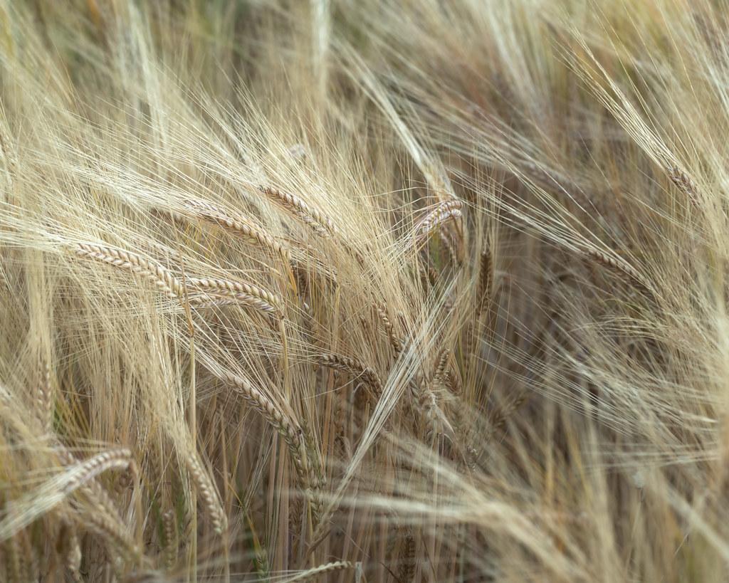 barley abstract #04   Bennybeg   Perthshire