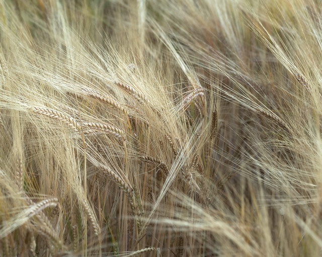 barley abstract #04 | Bennybeg | Perthshire