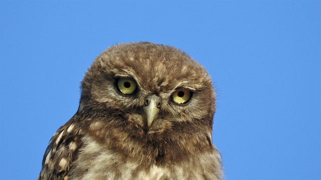 Mocho-galego (Athene noctua), Little owl - Murtosa