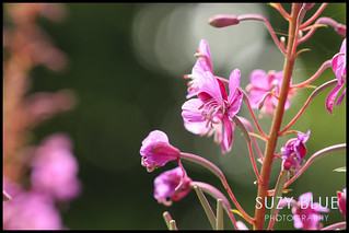 Rosebay Willowherb | by suzypud