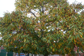 Sweet chestnut - November
