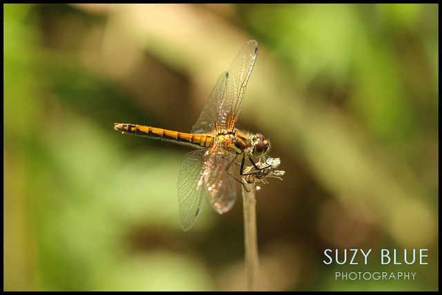 Black Darter (female)