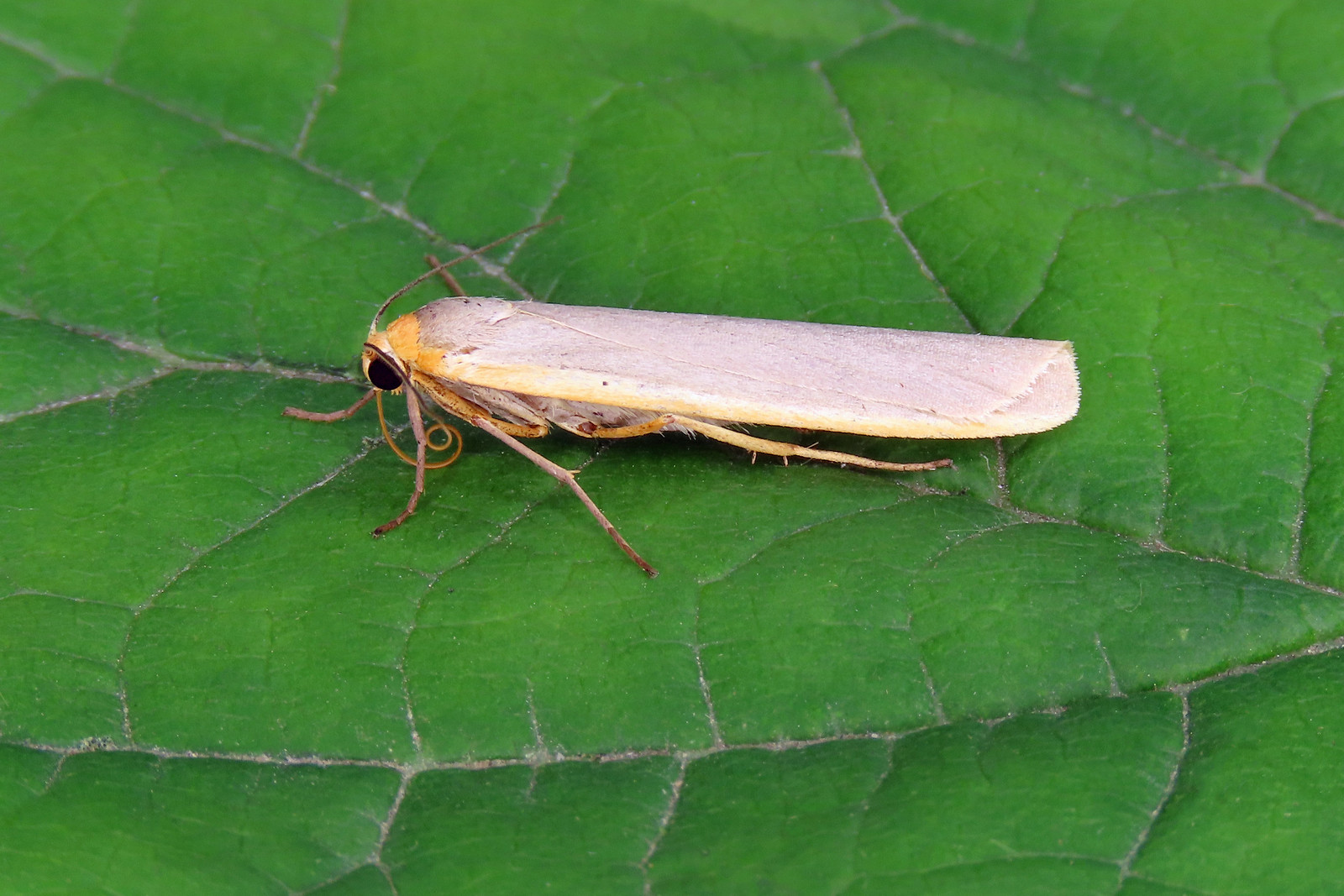 72.046 Scarce Footman - Eilema complana