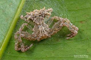 Bird dung crab spider (Phrynarachne sp.) - DSC_0230