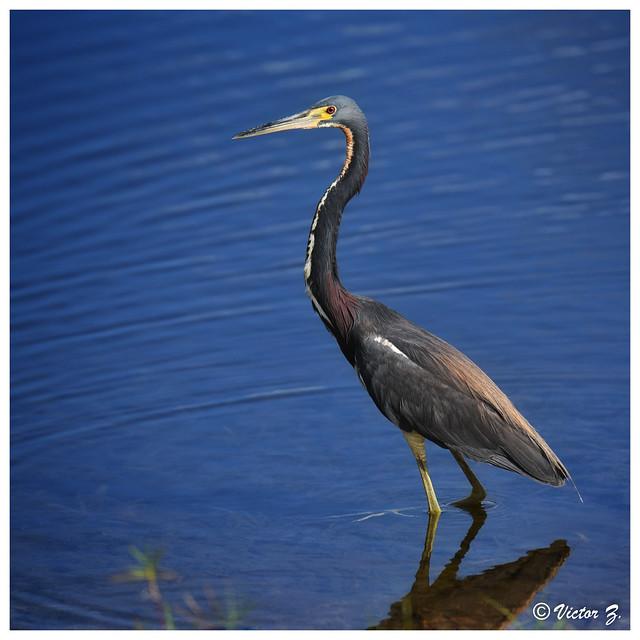 Tricolored Heron, Lake Mary Florida -377