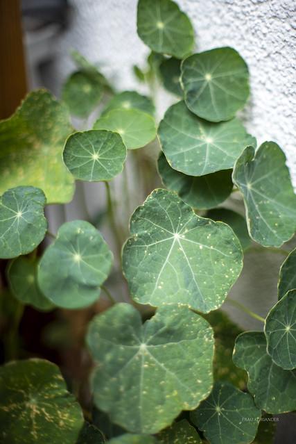 Blätter der Kapuzinerkresse