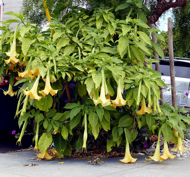 corona times: went out of the house for exercise, and well, of course, i took my camera; brugmansia plant 6-20*