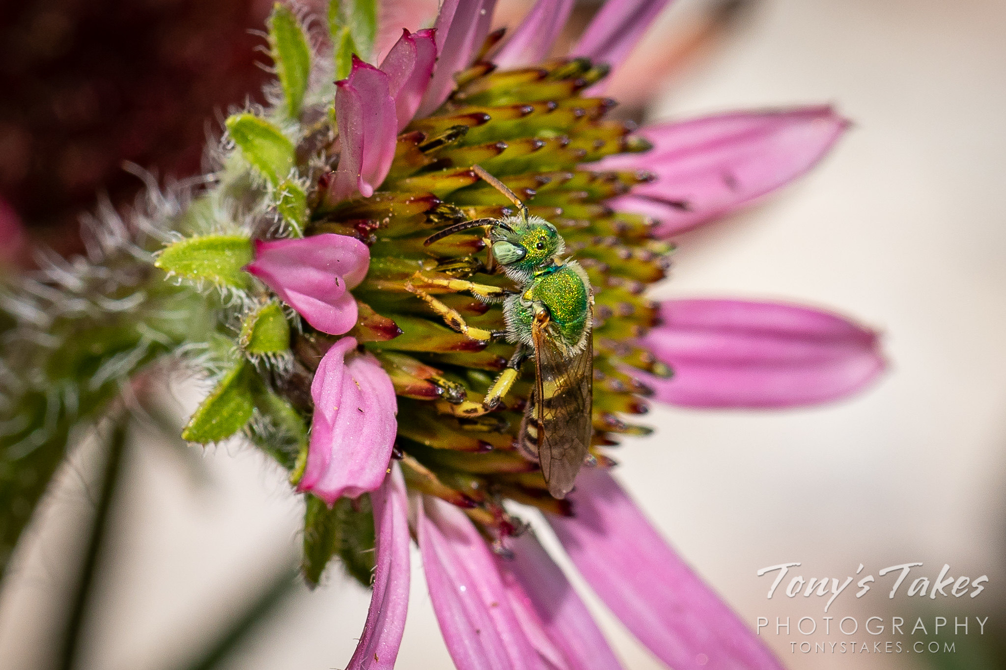 Sweat bee up close and personal