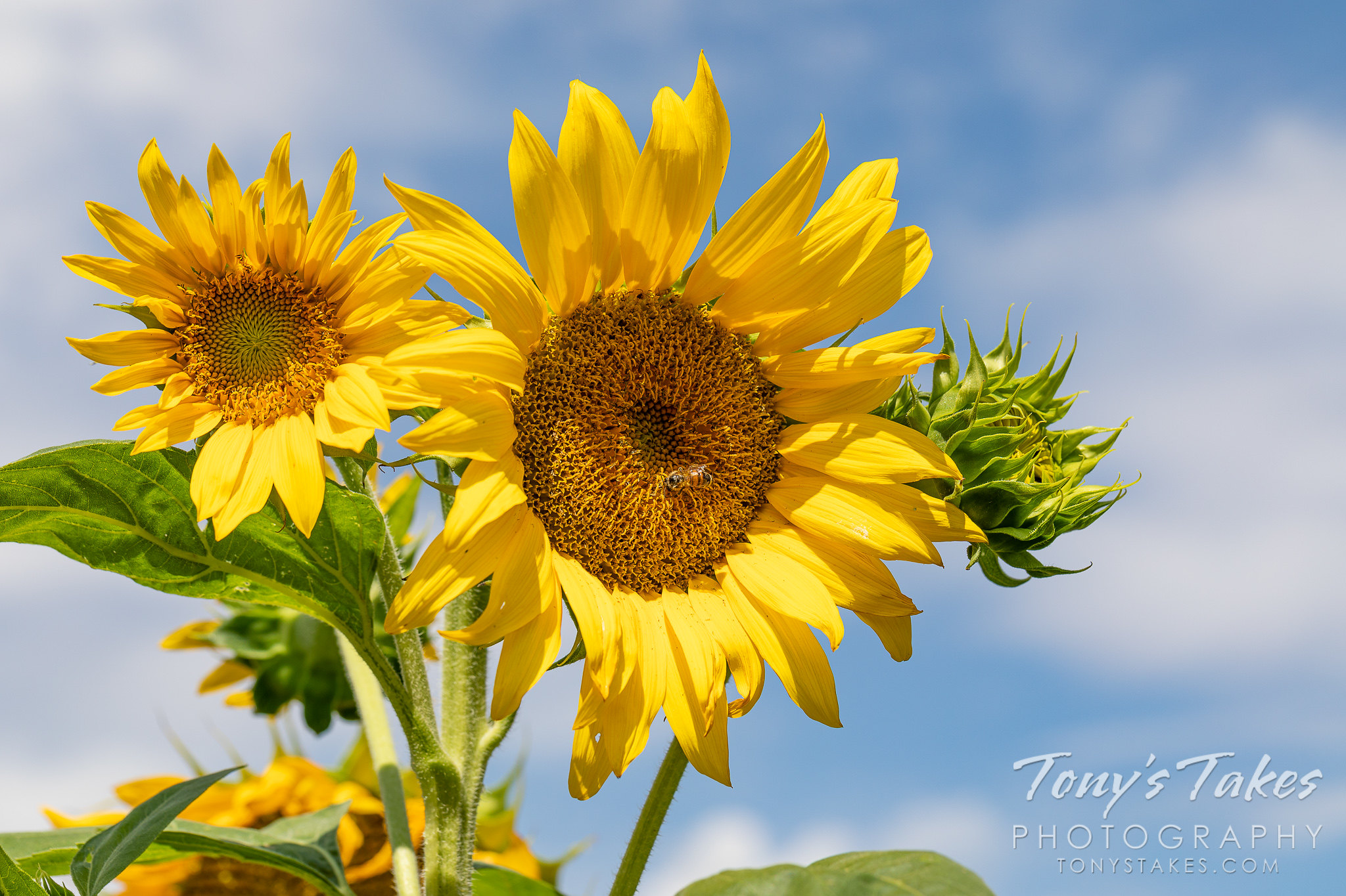 A golden sunflower against the blue, Colorado sky. (© Tony's Takes)