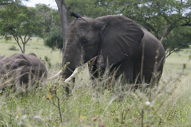 The elephants of Queen Elizabeth National Park