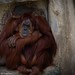"<p><a href=""https://www.flickr.com/people/macnet/"">deathspine</a> posted a photo:</p> 	 <p><a href=""https://www.flickr.com/photos/macnet/50170056293/"" title=""Orangutan""><img src=""https://live.staticflickr.com/65535/50170056293_f24d7df517_m.jpg"" width=""240"" height=""192"" alt=""Orangutan"" /></a></p>  <p>Fort Worth Zoo</p>"