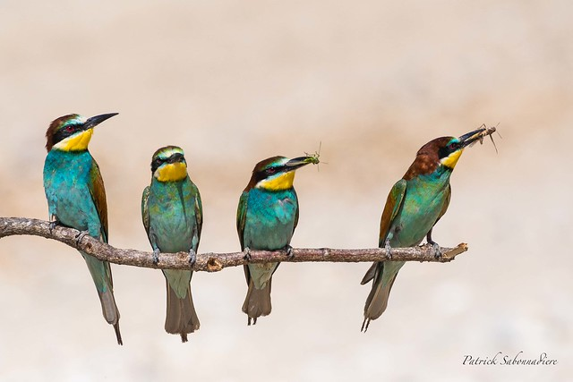 Guepier d'Europe-Merops Apiaster