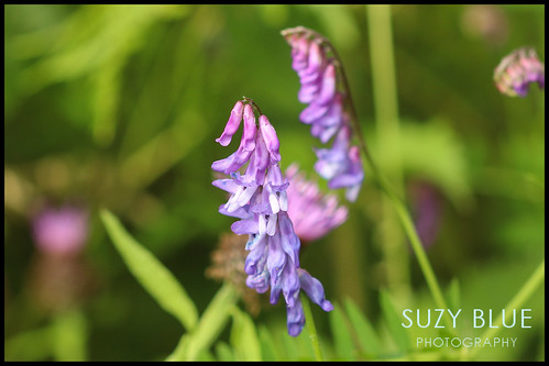 Tufted Vetch | by suzypud