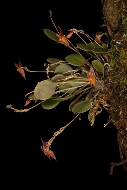 Lepanthes jugum