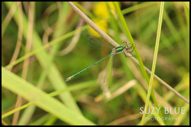 Emerald Damselfly (male)
