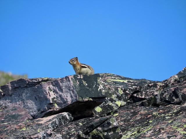 Bertha Peak Summit Scramble - A Golden-mantled Ground Squirrel on the summit ridge