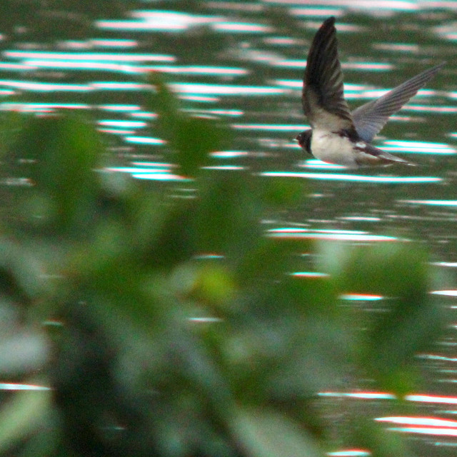 Barn swallow, Hirundo rustica, Ladusvala