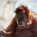 "<p><a href=""https://www.flickr.com/people/macnet/"">deathspine</a> posted a photo:</p> 	 <p><a href=""https://www.flickr.com/photos/macnet/50170857687/"" title=""Orangutan 2""><img src=""https://live.staticflickr.com/65535/50170857687_4dda5a393b_m.jpg"" width=""240"" height=""192"" alt=""Orangutan 2"" /></a></p>  <p>Fort Worth Zoo</p>"