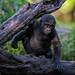 "<p><a href=""https://www.flickr.com/people/macnet/"">deathspine</a> posted a photo:</p>  <p><a href=""https://www.flickr.com/photos/macnet/50170863332/"" title=""Baby Gorilla""><img src=""https://live.staticflickr.com/65535/50170863332_29777b5e34_m.jpg"" width=""240"" height=""145"" alt=""Baby Gorilla"" /></a></p>  <p>Dallas Zoo</p>"