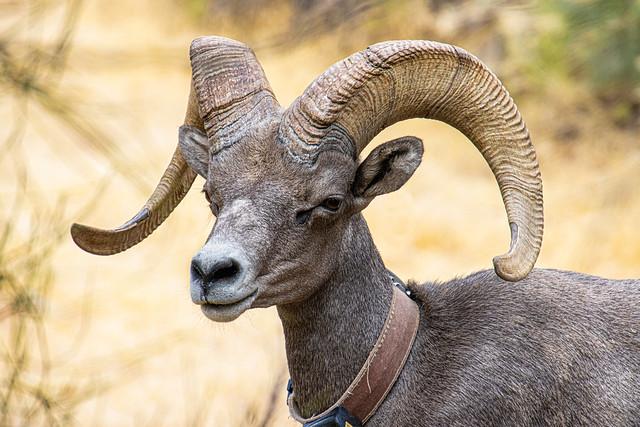 Big Horn Sheep IMG_1758
