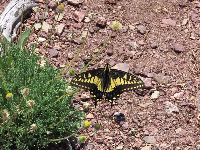 Bellevue Hill Summit Scramble -  A lovely Swallowtail
