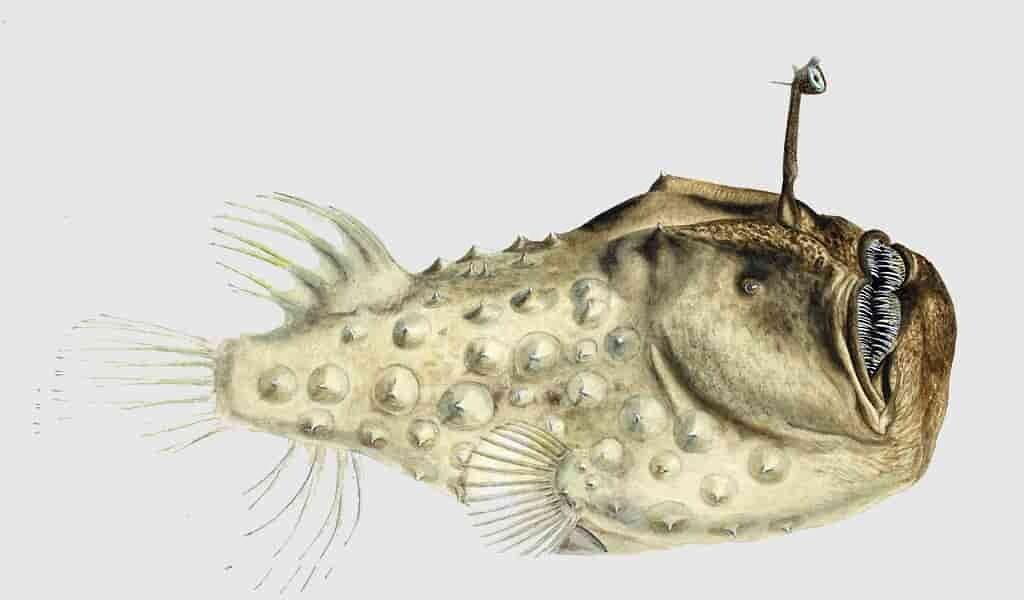 Les poissons-pêcheurs fusionnent leurs corps pour s'accoupler