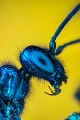 Blue Mud Wasp