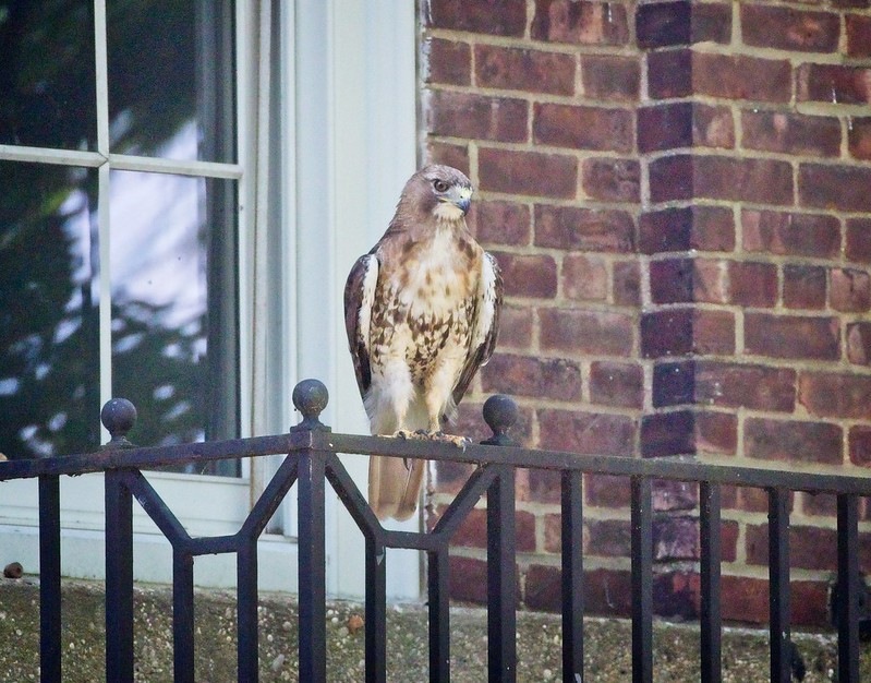 Governors Island red-tail