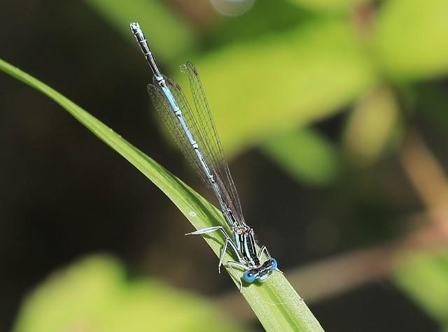 Platycnemis pennipes / Blue Featherleg / blauwe breedscheenjuffer