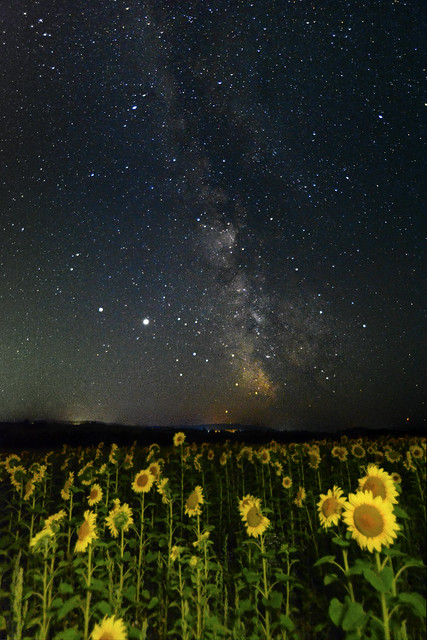 Illuminating Sunflowers and The Milky Way