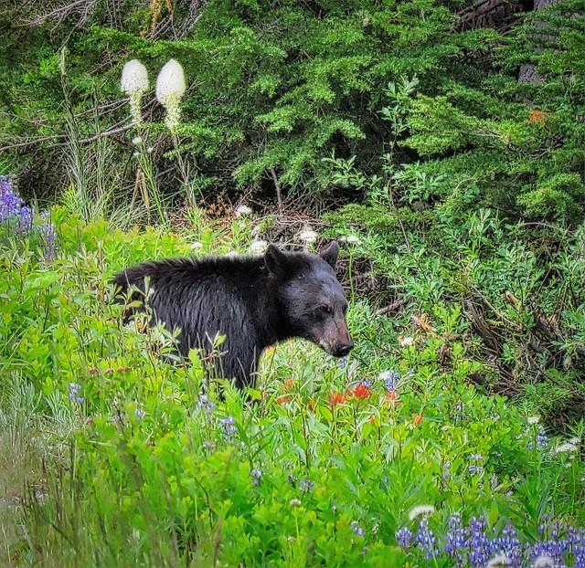 Black Bear in Wildflowers