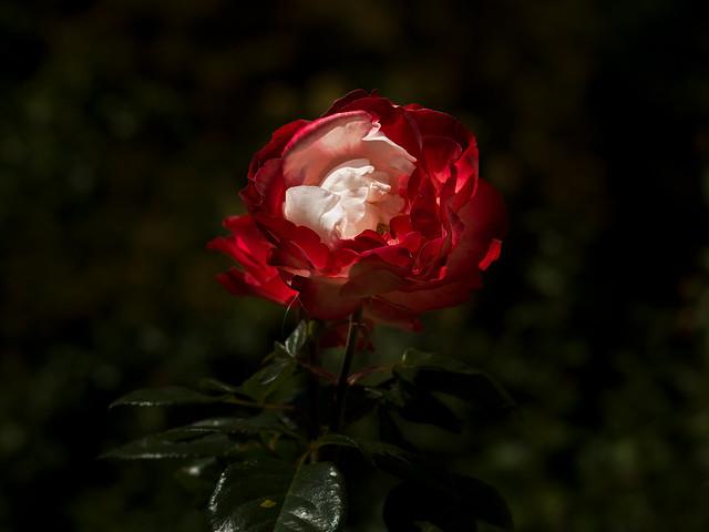 Rosegarden (II)