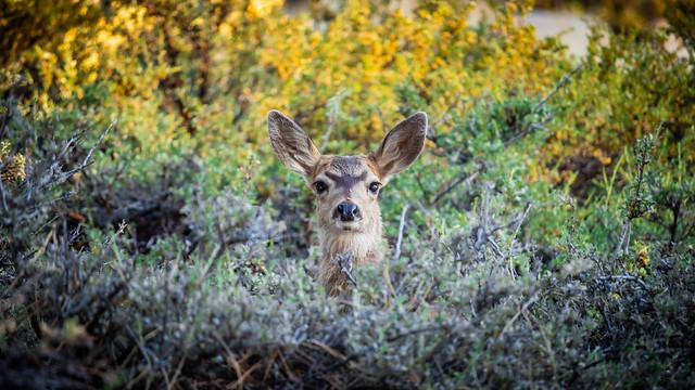 Tiny Mule Deer (Odocoileus hemionus)